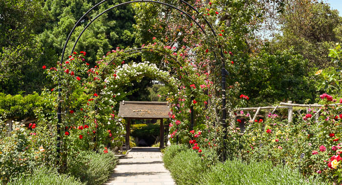 Arched pathway lined with plants, trees, red and white roses and other flowers on a sunny day with bright skies.