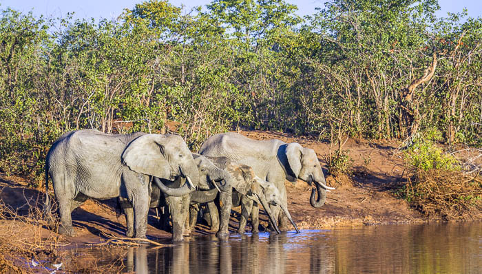 Family of five elephants, adults and  calfs, refreshing themselves as they drink water from a pond or small lake at a safari site in South Africa.